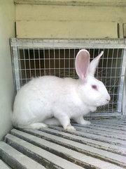 Продаются чистопородные кролики породы Белый Великан