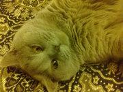 вязка кот порода скоттиш-страйд