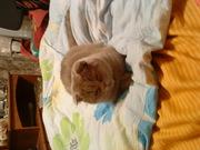 ищю британского кота для вязки