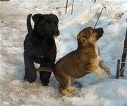 Крупные щенки-дворняжки.