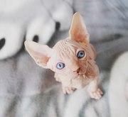Продажа котят Канадского Сфинкса