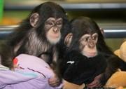 шимпанзе для принятия.