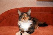 Котят породы майн-кун