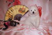 Продам девочку японского шпица