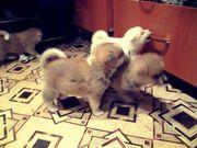 щенки Акита-ину